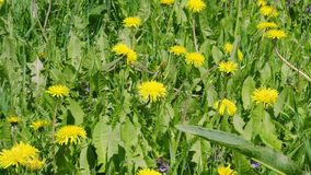 Gula maskrosblommor och grönt gräs på sommaräng arkivfilmer