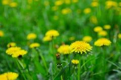 Gula maskrosor som växer på en gräsmatta Vårfält med maskrosor Royaltyfria Foton