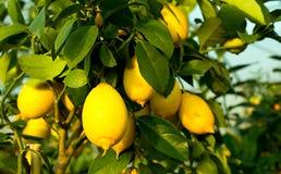 Gula mogna citroner i trädet med sidor arkivfoto
