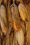 Gula mogna havreöron som vertikalt hänger Royaltyfri Bild
