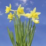 Gula Narcissus Flower Royaltyfri Foto
