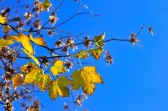 Gula nedgånglönnblad över den blåa himlen fotografering för bildbyråer