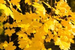 Gula nedgånglönnblad som är upplysta vid naturlig bakgrund för sol arkivfoto