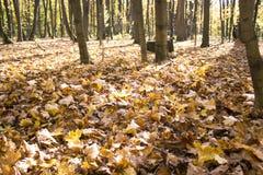 Gula nedgångsidor i skogen royaltyfria bilder