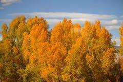 Gula nedgångträd Royaltyfria Bilder