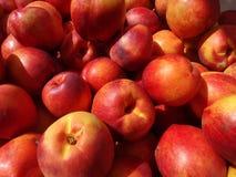 Gula nektariner, Prunus Persica var nucipersica 'gul nektarin', Fotografering för Bildbyråer