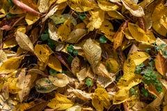 Gula och orange Autumn Cherry Leaves Background arkivfoto