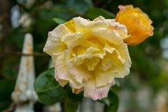 Gula och orange rosor med ett staket Royaltyfri Foto