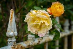 Gula och orange rosor med ett staket Royaltyfri Bild
