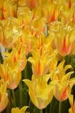 Gula och orange tulpan Fotografering för Bildbyråer