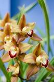 Gula och purpurfärgade orkidér Fotografering för Bildbyråer