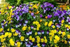 Gula och purpurfärgade Pansies i formell trädgård Royaltyfri Bild