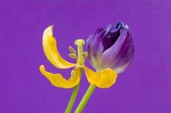 Gula och purpurfärgade Tulip Purple Background Royaltyfri Fotografi