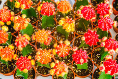 Gula och röda kaktusblommor i krukor på kaktuns shoppar i blommamarknad Royaltyfri Bild