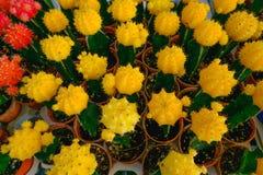 Gula och röda kaktusblommor i krukor på kaktuns shoppar i blommamarknad Royaltyfria Foton