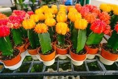 Gula och röda kaktusblommor i krukor på kaktuns shoppar i blommamarknad Arkivbild