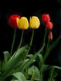 Gula och röda tulpan Royaltyfri Bild