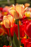 Gula och röda tulpan i Michigan i vårlodlinje Fotografering för Bildbyråer