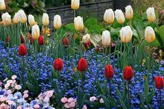 Gula och röda tulpan med vattendroppar och mångfärgad trädgård f arkivfoto