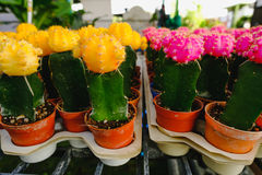 Gula och rosa kaktusblommor i krukor på kaktuns shoppar i blommamarknad Fotografering för Bildbyråer