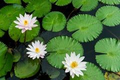Gula och rosa lotusblommaknoppar och blom beautifully Royaltyfria Foton