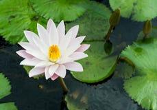 Gula och rosa lotusblommaknoppar och blom beautifully Royaltyfri Fotografi