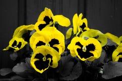 Gula och svarta pansies Arkivfoto