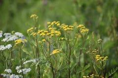 Gula och vita blommor för grön ängbredd Strålarna av solen ljusnar ängen arkivbild