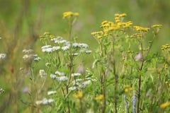 Gula och vita blommor för grön ängbredd Strålarna av solen ljusnar ängen royaltyfria foton