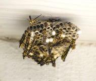 Gula omslag som bygger en redeHymenopteravespidae arkivfoto
