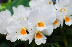 Gula oncidiumorkidér för vit Royaltyfria Foton