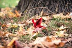 Gula, orange och röda höstsidor i härlig nedgång parkerar på gräset arkivfoto