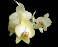 Gula orchids fotografering för bildbyråer