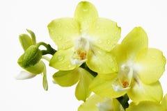 Gula orkidéintelligenswaterdrops Fotografering för Bildbyråer
