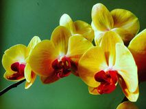 gula orkidér på en grön bakgrund Royaltyfri Foto