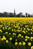 Gula påskliljor i ett fält fotografering för bildbyråer