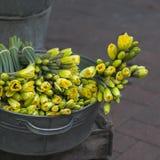 Gula påskliljor i zink skrålar Royaltyfri Foto