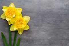 Gula påskliljor på en grå bakgrund tillgänglig hälsning för korteaster eps mapp Royaltyfria Bilder