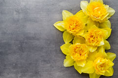 Gula påskliljor på en grå bakgrund tillgänglig hälsning för korteaster eps mapp Arkivfoton