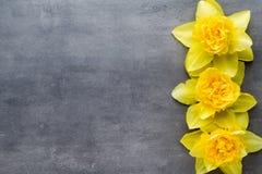 Gula påskliljor på en grå bakgrund tillgänglig hälsning för korteaster eps mapp Arkivbild