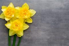 Gula påskliljor på en grå bakgrund tillgänglig hälsning för korteaster eps mapp Fotografering för Bildbyråer