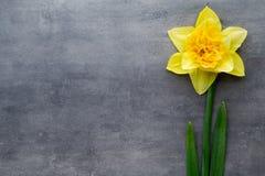 Gula påskliljor på en grå bakgrund tillgänglig hälsning för korteaster eps mapp Royaltyfri Fotografi