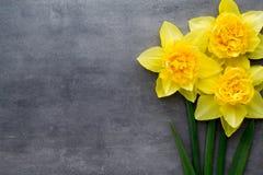 Gula påskliljor på en grå bakgrund tillgänglig hälsning för korteaster eps mapp Royaltyfria Foton