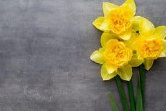 Gula påskliljor på en grå bakgrund tillgänglig hälsning för korteaster eps mapp Royaltyfri Bild