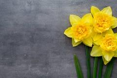 Gula påskliljor på en grå bakgrund tillgänglig hälsning för korteaster eps mapp Royaltyfri Foto