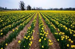 Gula påskliljor på en lantgård royaltyfri foto