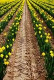 Gula påskliljor på en lantgård royaltyfria foton