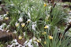 Gula påskliljor under snön, gula påskliljor och snö royaltyfri fotografi