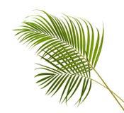 Gula palmbladDypsis lutescens eller den guld- rottingen gömma i handflatan, Arecapalmblad, tropisk lövverk som isoleras på vit ba Arkivfoto