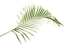 Gula palmbladDypsis lutescens eller den guld- rottingen gömma i handflatan, Arecapalmblad, tropisk lövverk som isoleras på vit ba arkivfoton